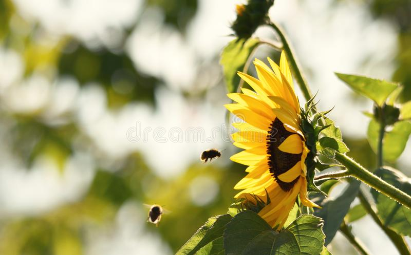 Sunflower with hovering bees stock photography