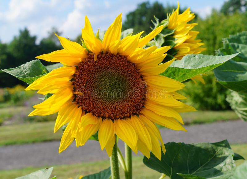 Beautiful sunflower -Helianthus annuus royalty free stock photos