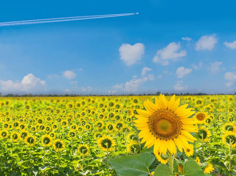 The beautiful of sunflower plant field with the  beautiful blue sky cloud in Thailand stock photos