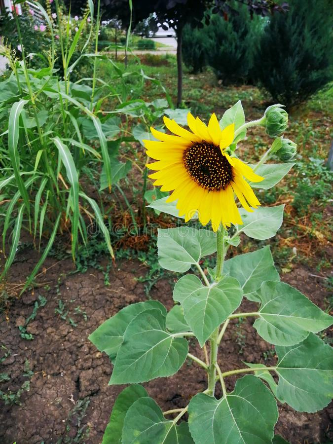 Beautiful sunflower in summer in a flower bed stock images