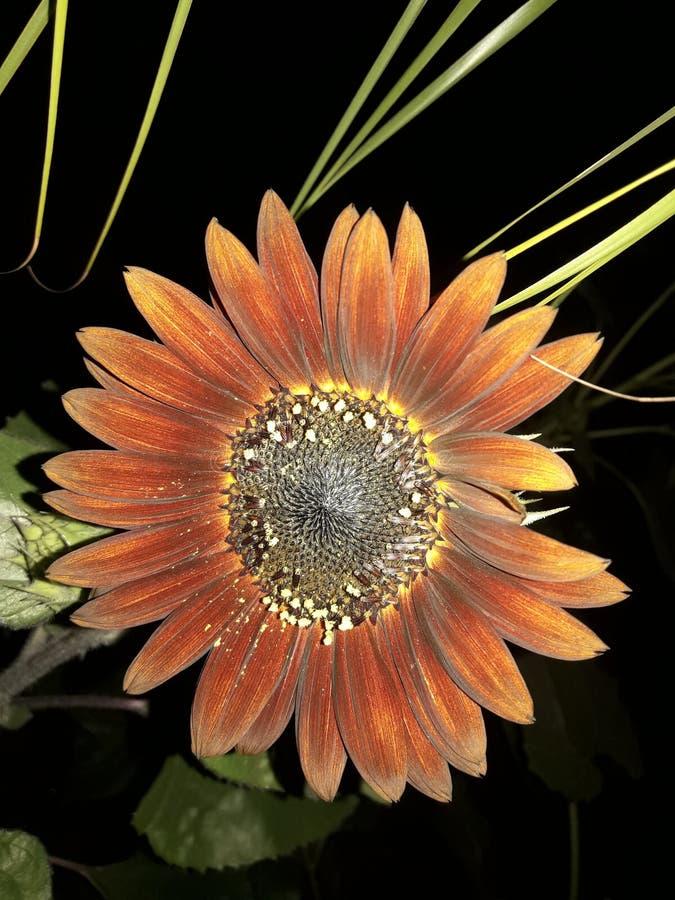 Beautiful Sunflower variety Tithonia royalty free stock photos