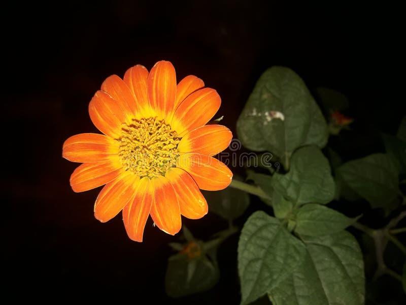 Beautiful Sunflower variety Tithonia stock image