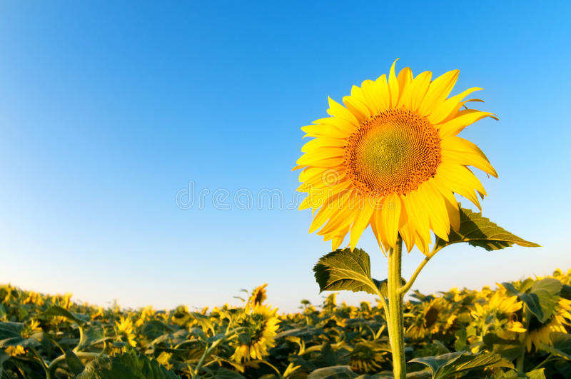Beautiful sunflowers farm on the sunny summer day royalty free stock photography