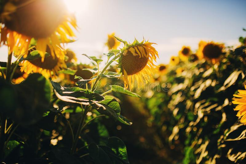 Beautiful sunflowers in the field natural background, Sunflower blooming stock images