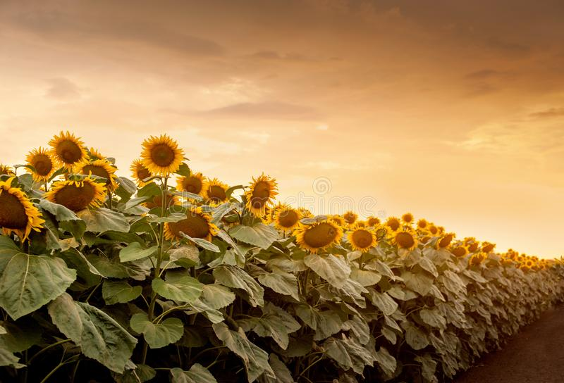 Sunflowers in the field natural background, Sunflower blooming. Beautiful sunflowers in the field natural background, Sunflower blooming stock photo