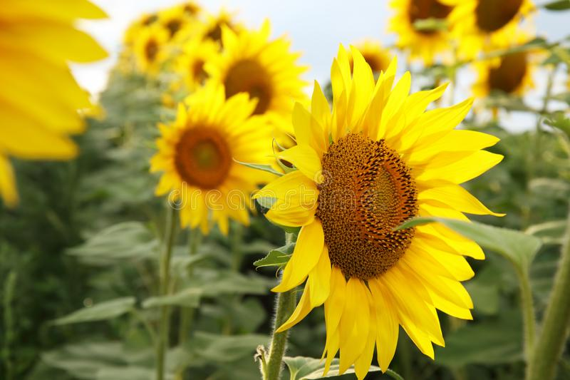 Beautiful sunflowers in the field natural background, Sunflower blooming royalty free stock images