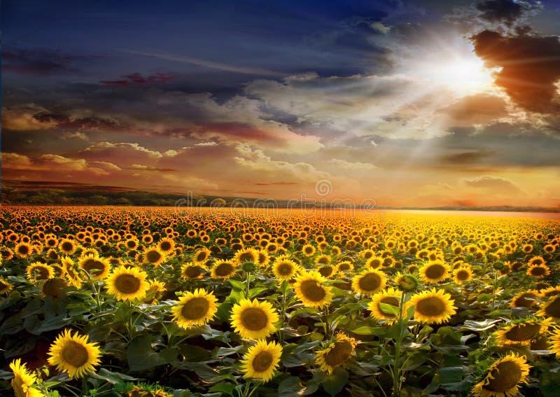 Beautiful sunflowers field on sunset royalty free stock photography