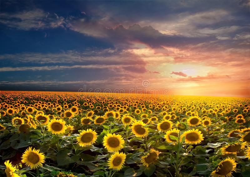 Beautiful sunflowers field on sunset royalty free stock images