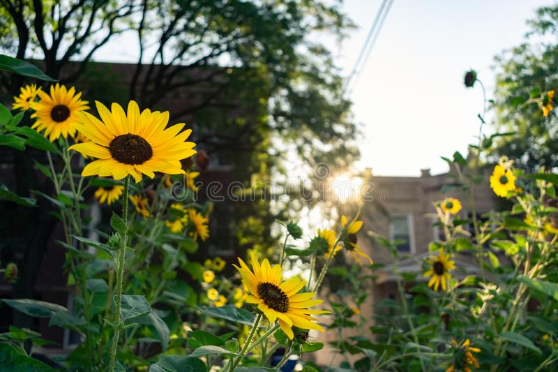 Beautiful Sunflowers Glowing in the Morning Sun at a Home Garden in Logan Square Chicago stock image