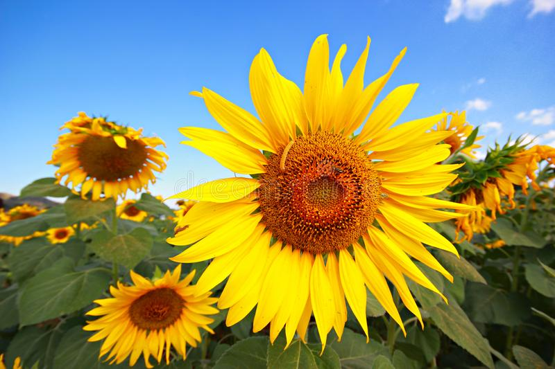 Beautiful sunflowers in summer royalty free stock image