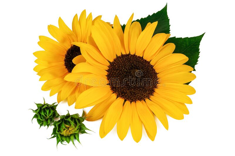 Beautiful sunflowers on white stock photos