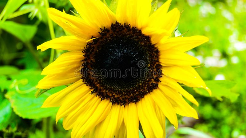 Beautiful sunny flower, single yellow sunflower stock photos