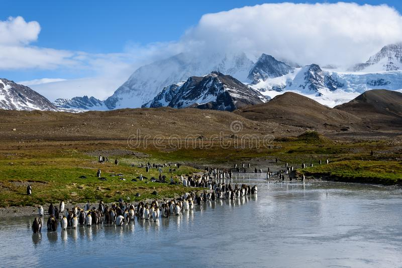 Beautiful sunny landscape with large King Penguin colony, penguins standing in river leading back to snowy mountains, St. Andrews stock image