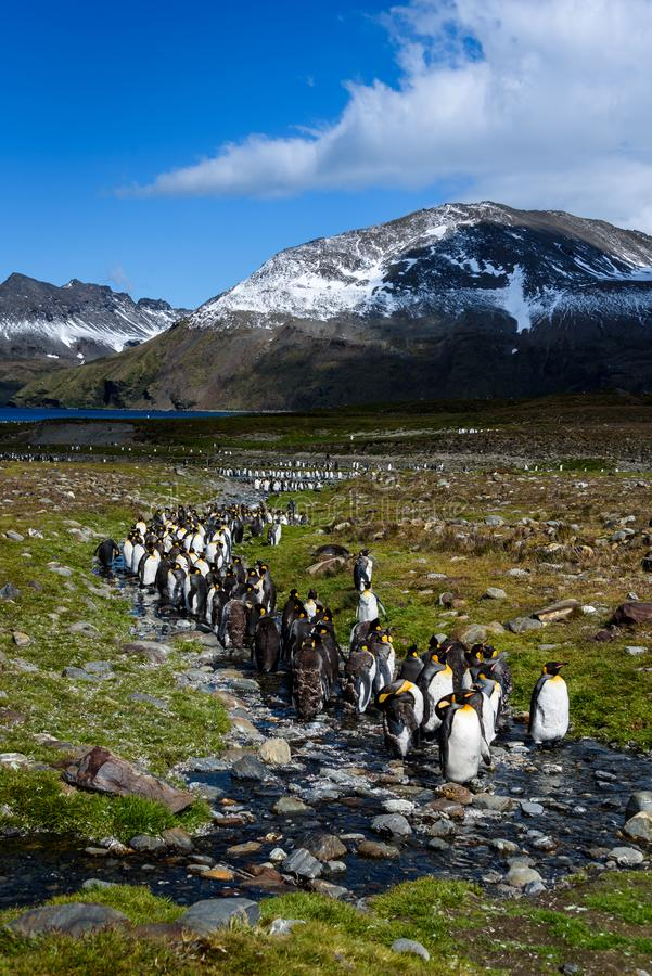 Beautiful sunny landscape with large King Penguin colony, penguins standing in stream leading back to a lake and mountains, St. An stock photography