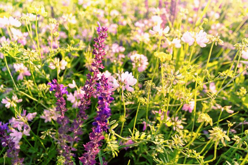 Beautiful sunny medow whit purple flowers stock photo