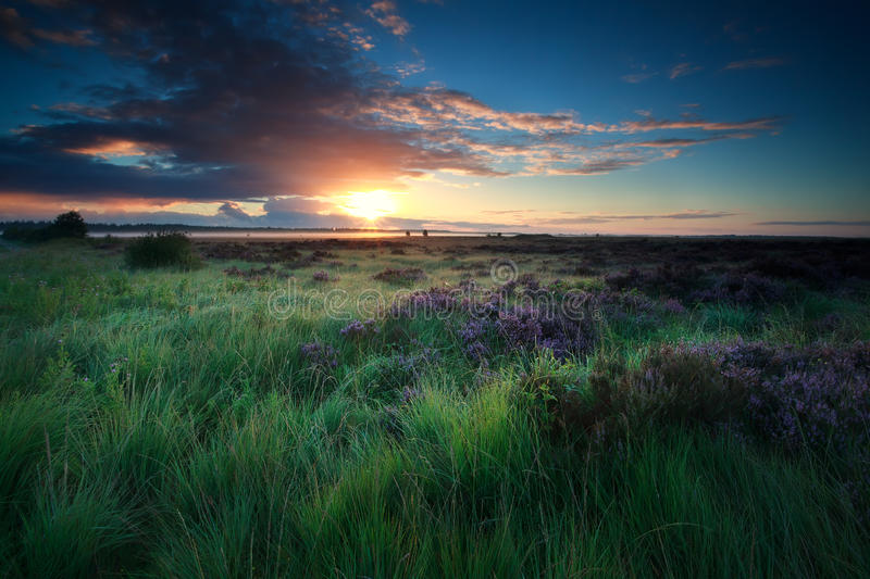 Beautiful sunrise over marsh with blooming heather royalty free stock photography
