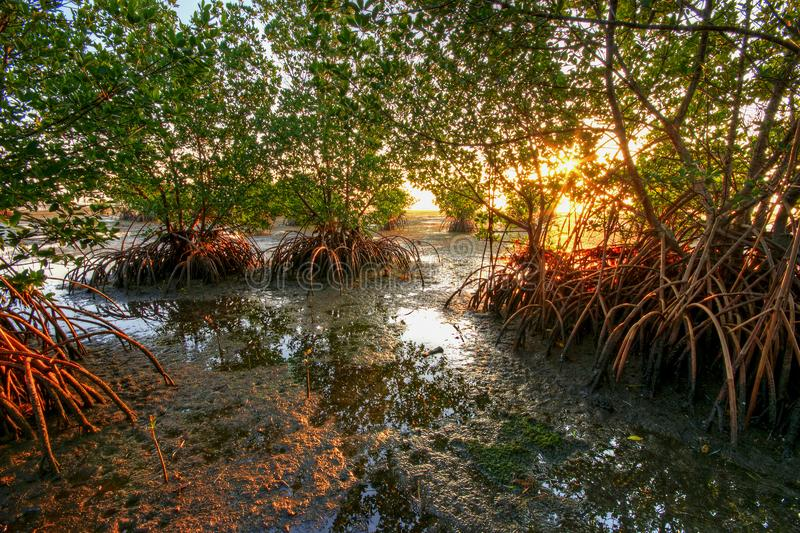 Red Mangroves at sunrise at Matheson Hammock Park in Miami, Florida royalty free stock image