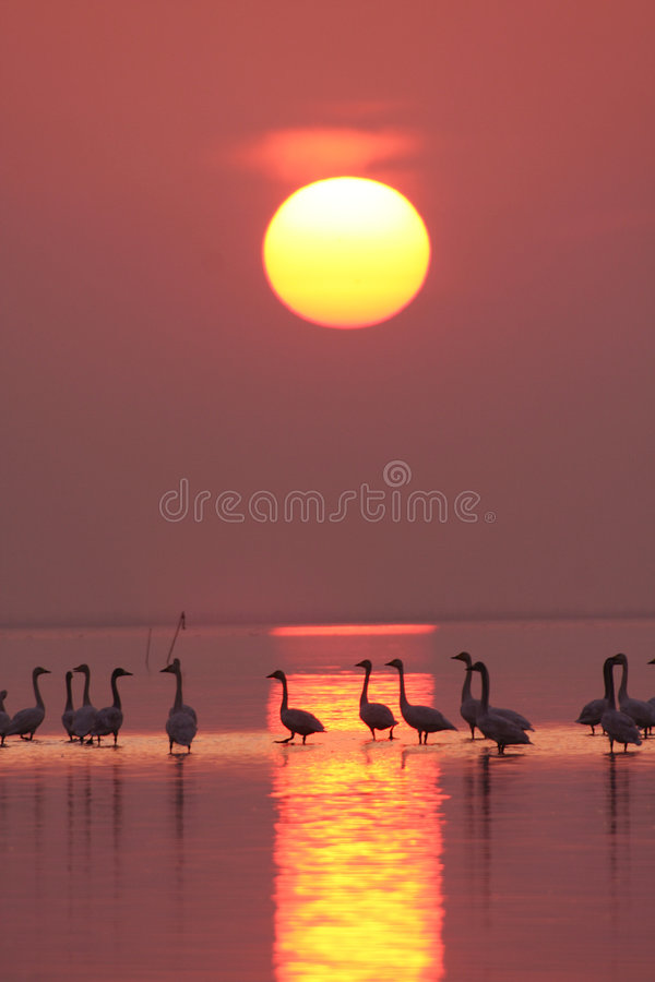 Beautiful sunset. Swans are walking on the sunset stock images