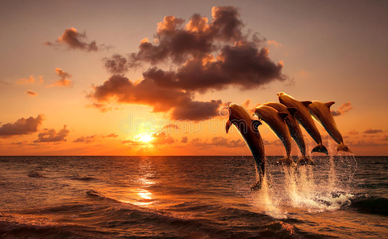 Beautiful sunset with dolphins. Jumping