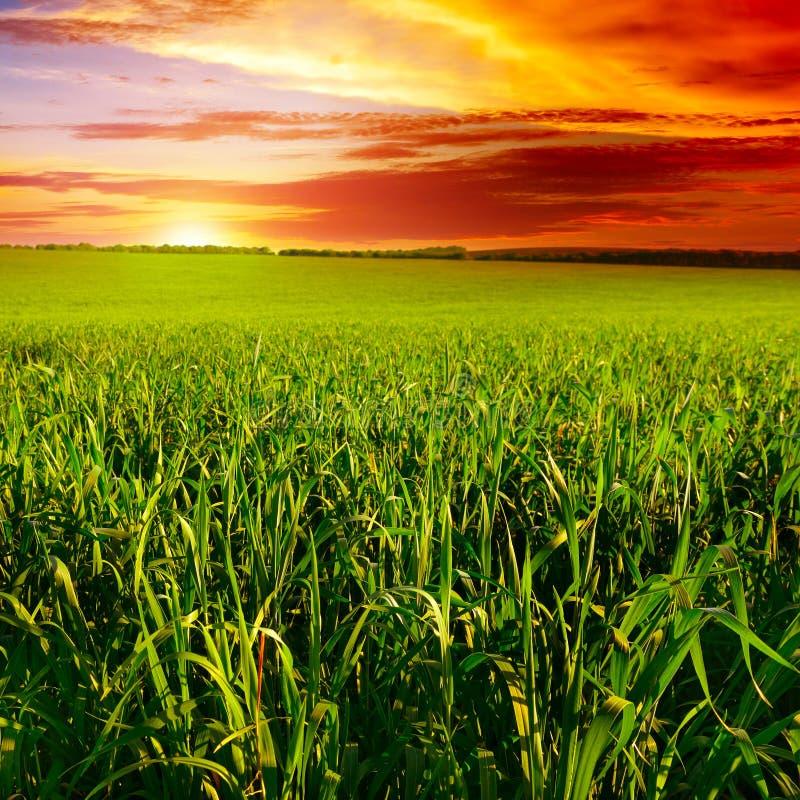 Beautiful sunset on field. Beautiful sunset on wheat field stock image