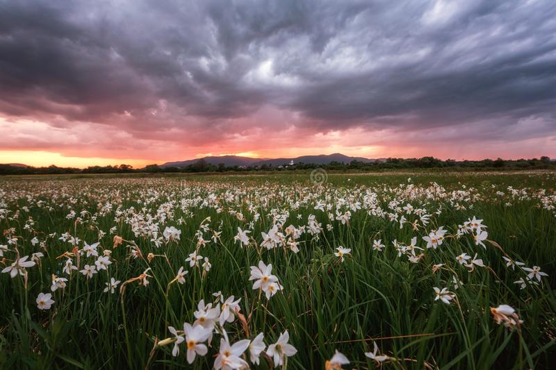 Beautiful sunset in the flowering valley, scenic landscape with wild growing white flowers and dramatic thunder sky. Daffodil valley, nature reserve near Khust royalty free stock image