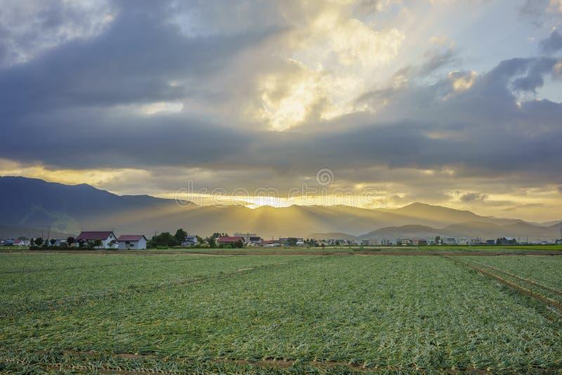 Beautiful sunset landscape with corn farm stock images