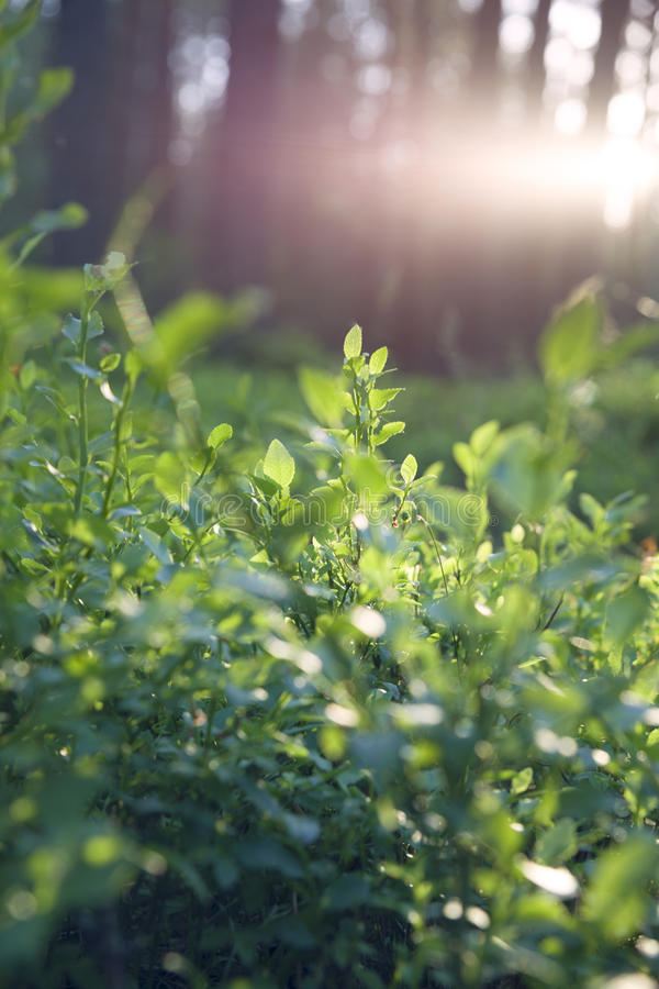 Beautiful sunset in Lithuania forest. Blueberry plant. And sun out of focus stock photos