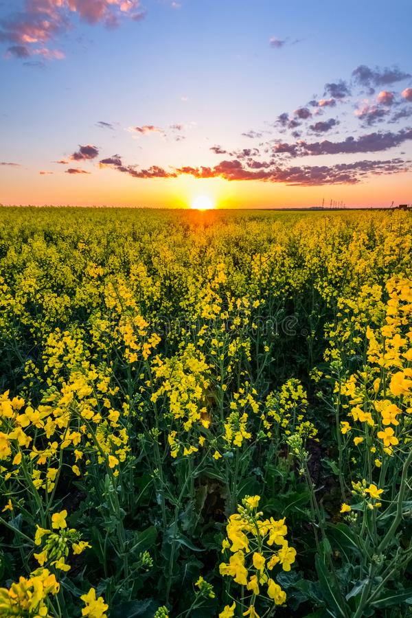 Sunset over the field with. Beautiful sunset over the horizon in a field strewn with stock images