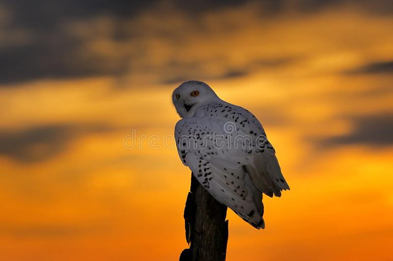 Beautiful sunset sky with flying owl. Snowy owl, Nyctea scandiaca, rare bird sitting on the tree trunk. Wildlife nature royalty free stock photography