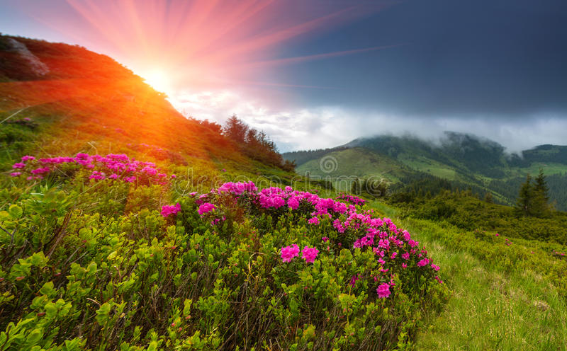 Beautiful sunset in the spring mountains. View of hills, covered with fresh blossom rododendrons. Panoramic landscape stock photos