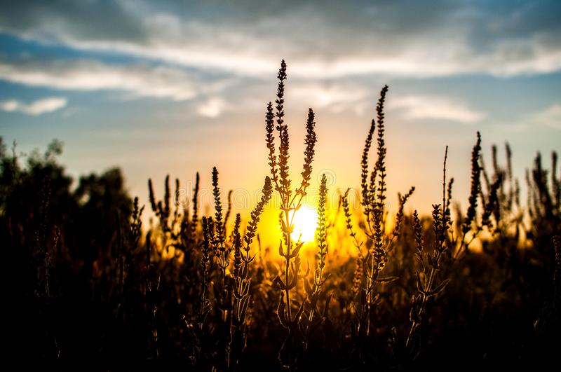 Beautiful sunset, warm summer evening in the field of green, not ripened wheat stock photos