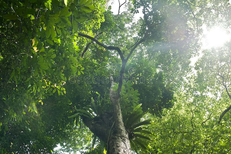 Beautiful sunshine in the morning on a big tree royalty free stock photo