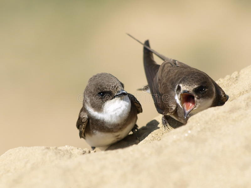Download Beautiful Swallow Sand Martin, Riparia Riparia Stock Photo - Image: 19274546