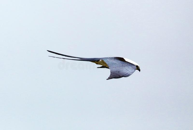 Swallow-tailed kite prey bird hunting in the skies of Costa Rica stock images