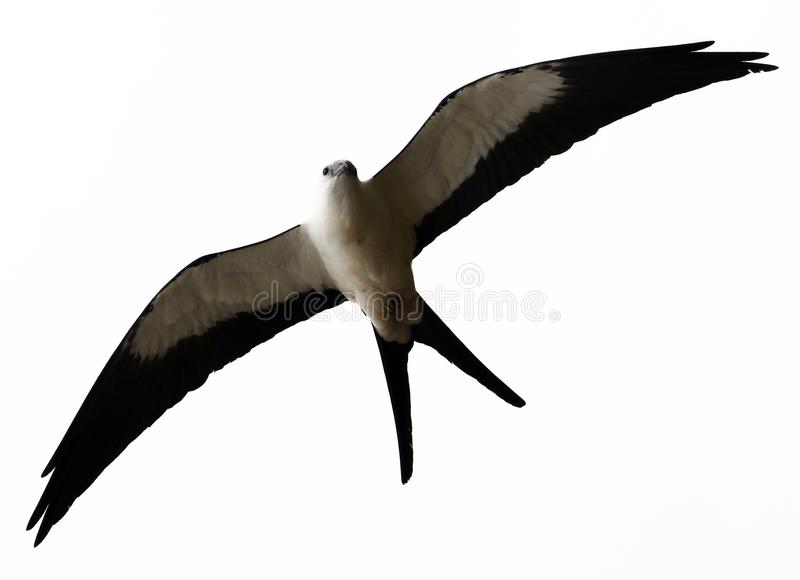 Swallow-tailed kite prey bird hunting in the skies of Costa Rica royalty free stock images