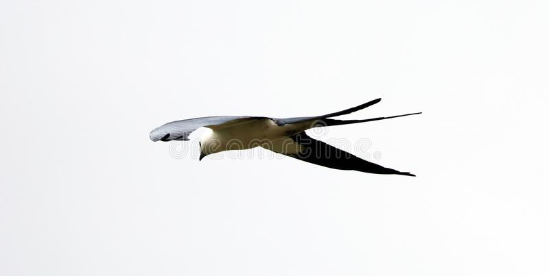 Swallow-tailed kite prey bird hunting in the skies of Costa Rica royalty free stock photos