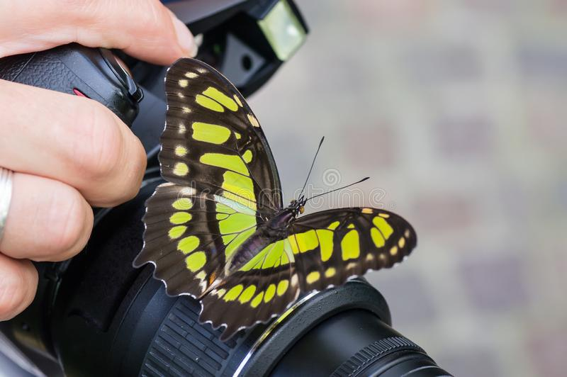 Swallowtail butterfly on a camera, held by the photographer. royalty free stock image
