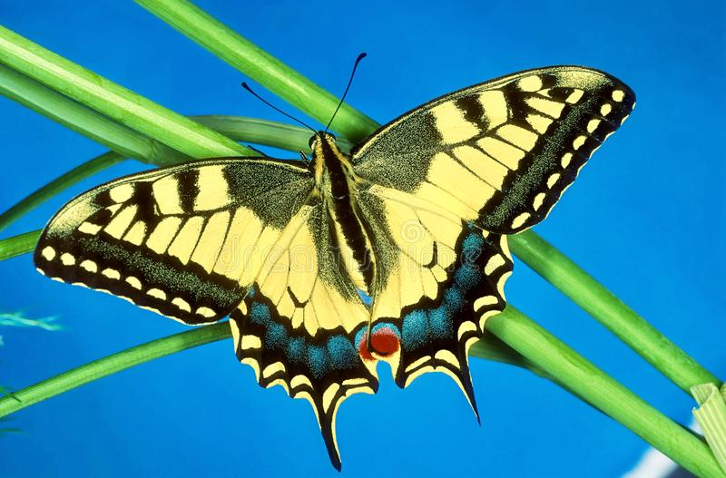 Portrait of a Swallowtail butterfly, wings open. A beautiful Swallowtail butterfly, wings spread stock images