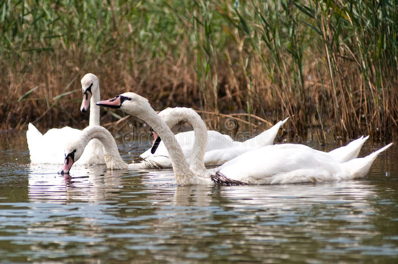 Beautiful swan! royalty free stock photography