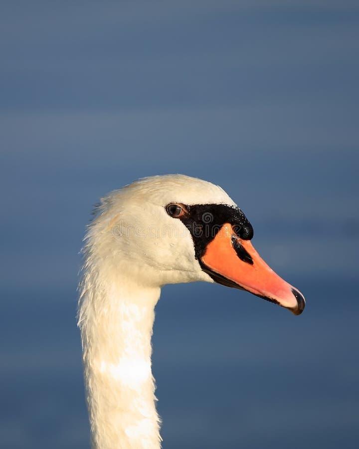 A Beautiful Swan Stock Photos