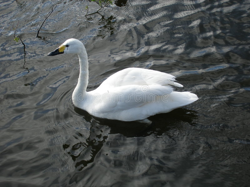 Download Beautiful swan stock image. Image of cleanliness, gentleness - 236281
