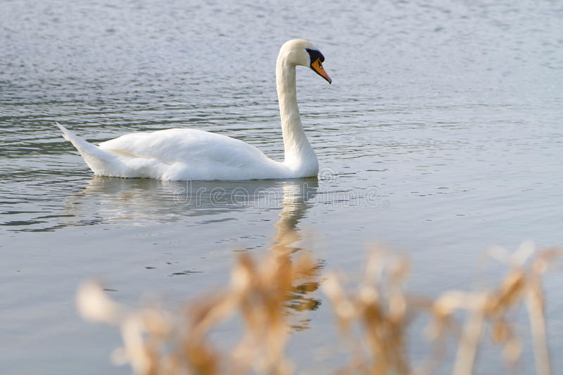 Download Beautiful swan stock image. Image of calm, grace, reflection - 24096523