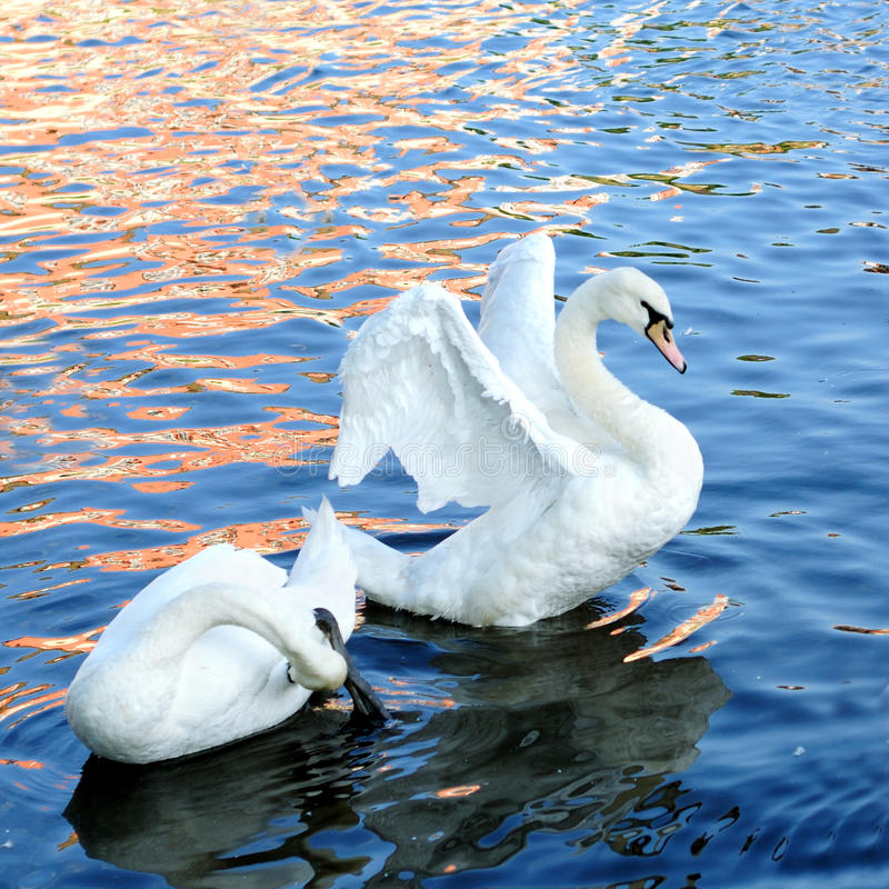Download The Beautiful Swan Royalty Free Stock Images - Image: 24525099