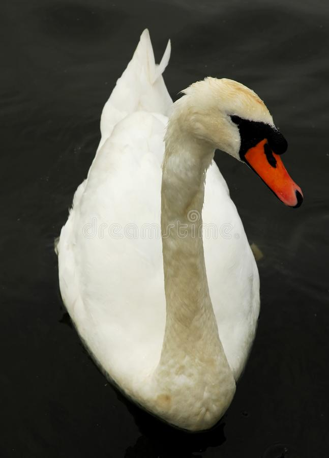 Download Beautiful swan stock photo. Image of grace, closeup, birds - 4142124