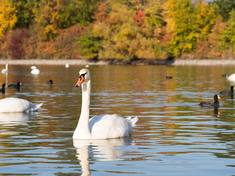 Swan bird in lake in autumn evening light royalty free stock photos