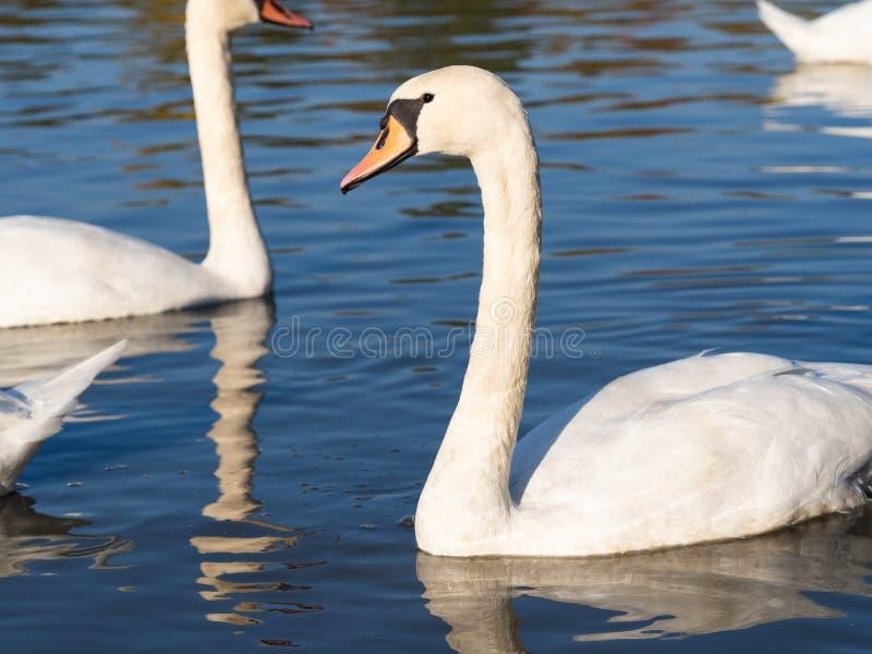 Swan bird in lake in golden evening light. Beautiful swan cygnus olor in lake in the golden evening light royalty free stock photos