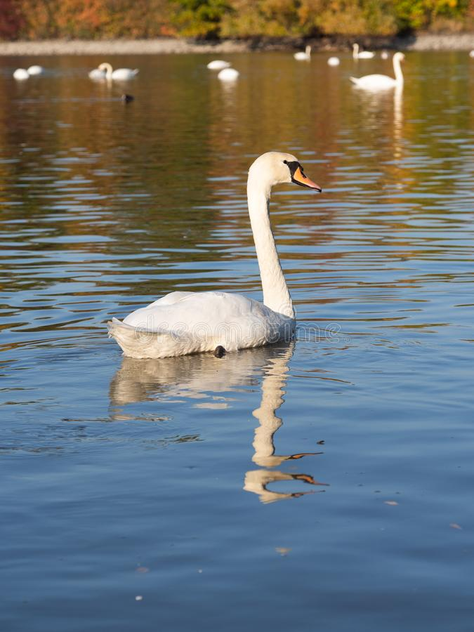 Swan bird in lake in golden evening light. Beautiful swan cygnus olor in lake in the golden evening light royalty free stock image