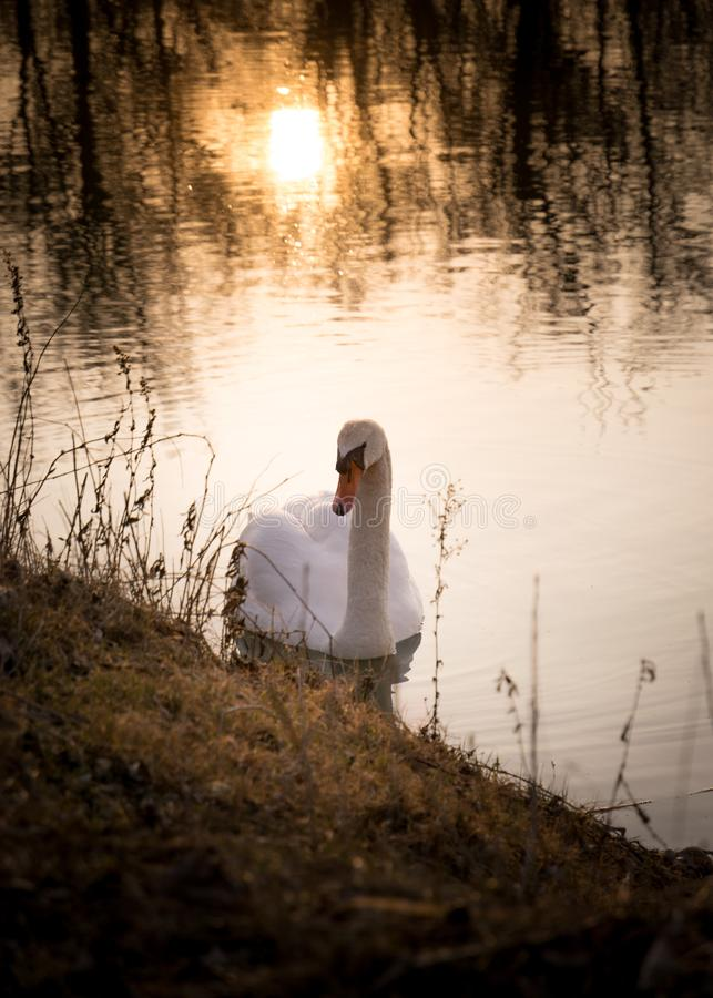 Beautiful swan floating on the lake. Cygnus olor. Beautiful swan floating on the lake while sunset. Colorful photo of the swan. Cygnus olor stock photo