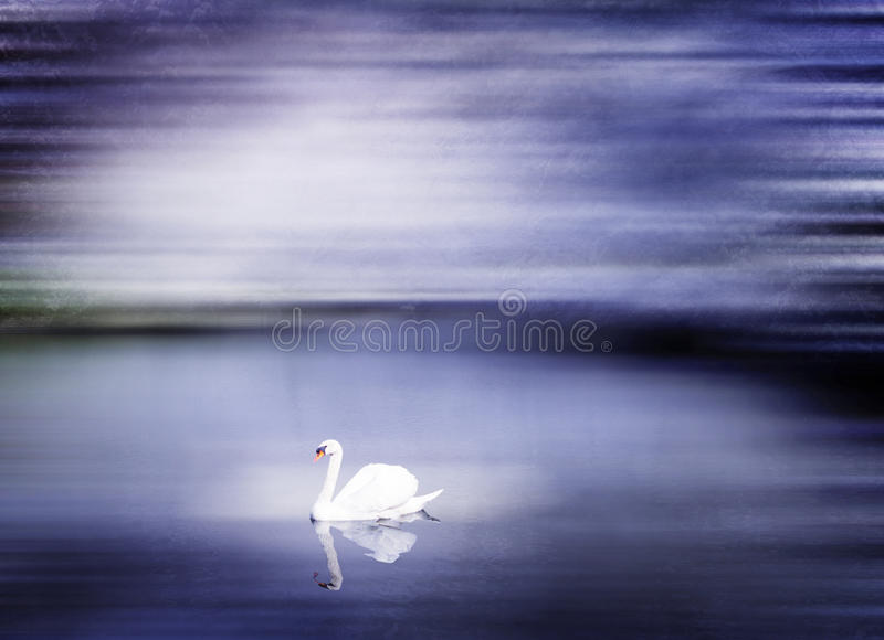Beautiful Swan Lake in Winter Scene Peaceful Concept royalty free stock photography