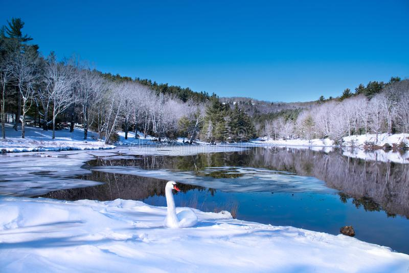 Beautiful swan relaxing on the snow by the lake in frosted forest. stock photography